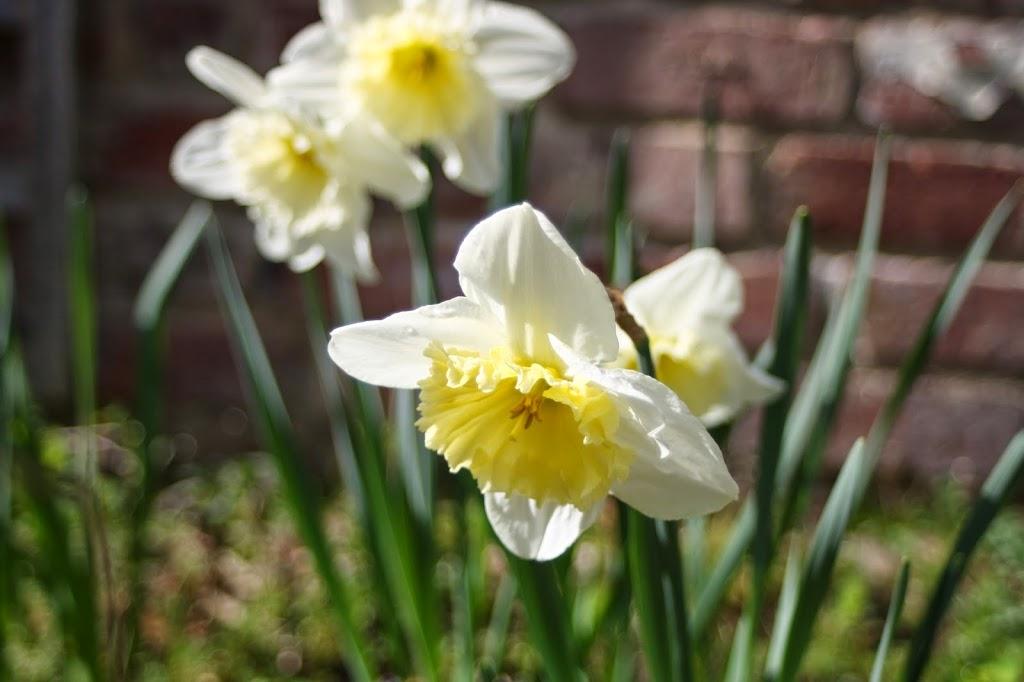 Daffodils-spring-365