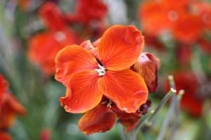 Wallflower, flower, spring, 365