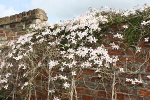 365, Clematis, Garden, Flowers, Spring