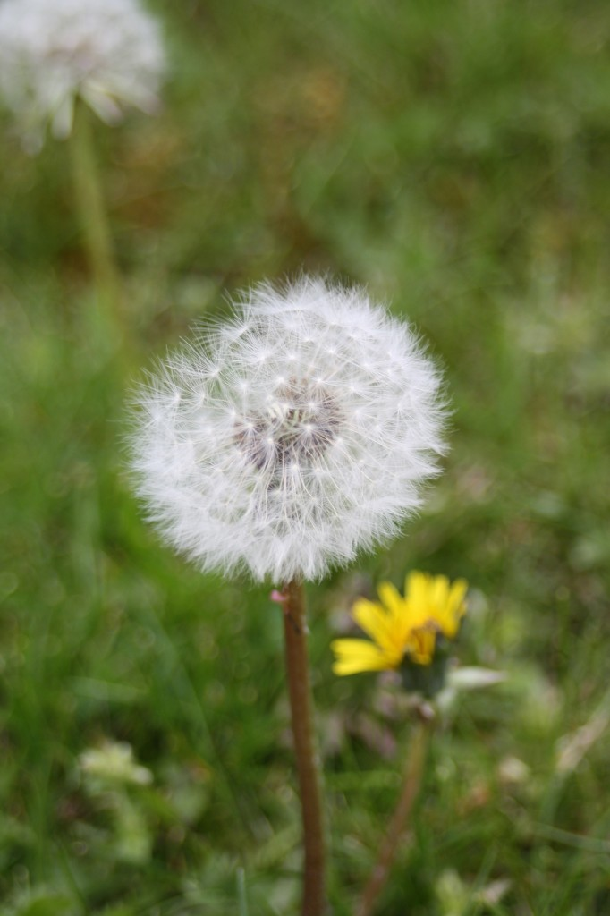 Garden, spring, dandelion, weed, how does your garden grow