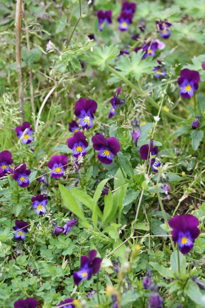 Pansies, garden, spring, how does your garden grow