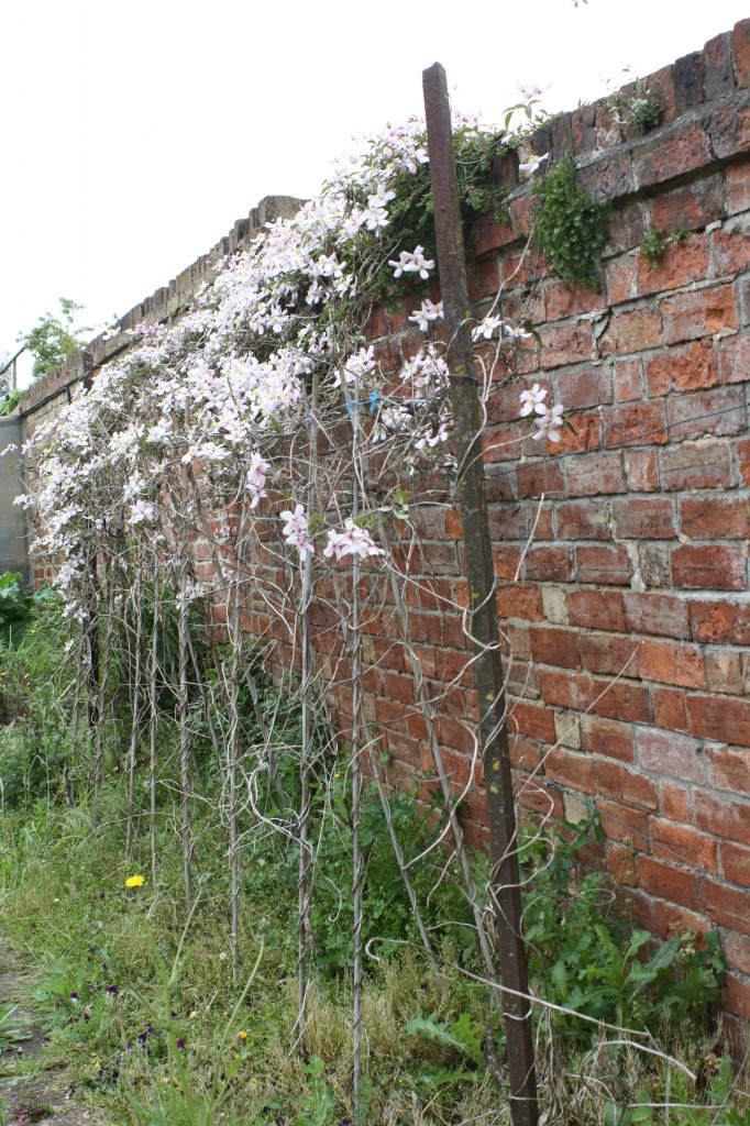 Clematis, wall, garden, how does your garden grow