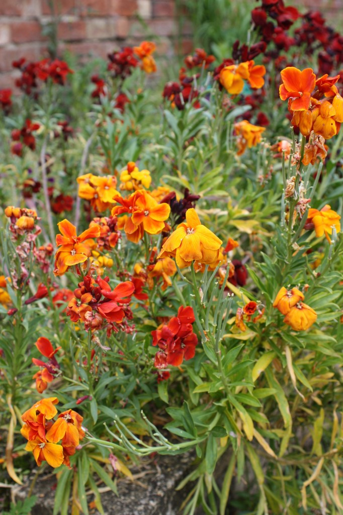 Wallflowers, garden, spring, how does your garden grow