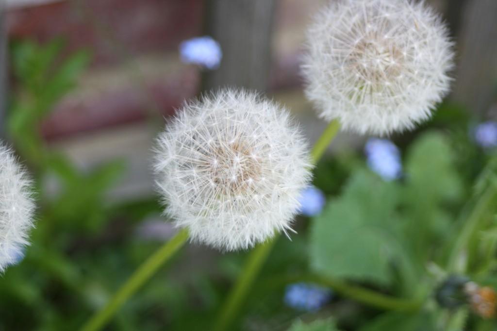 Dandelion, garden, 365