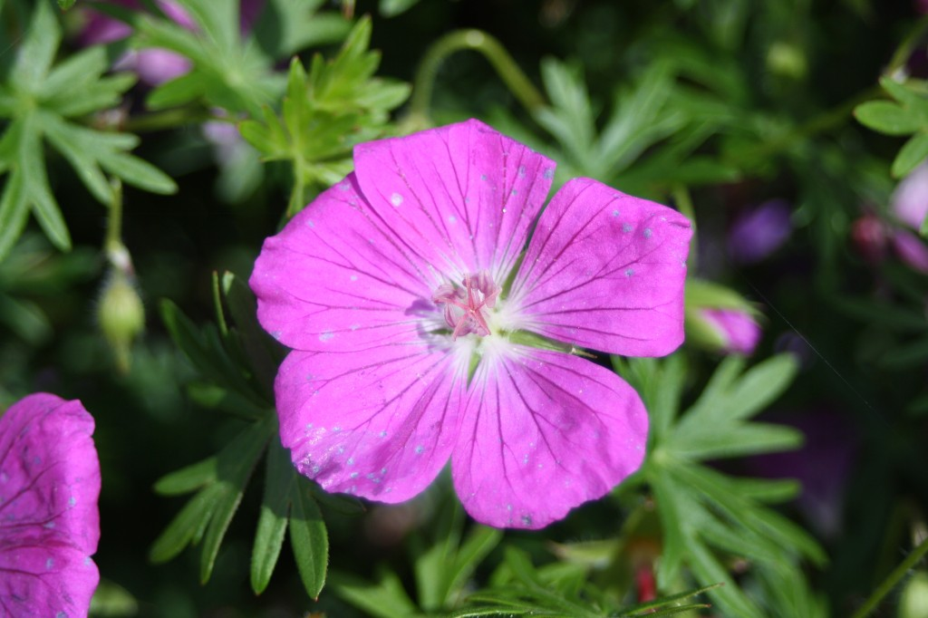 Flower, garden, 365