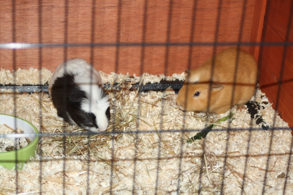 Guinea pigs, pets, cage, 365