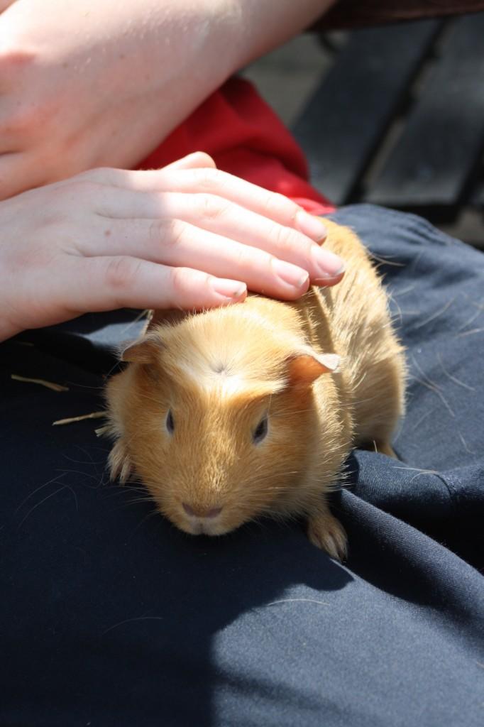 Guinea Pig, Daisy, pet, 365