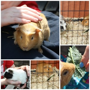 PicMonkey guineapigsCollage