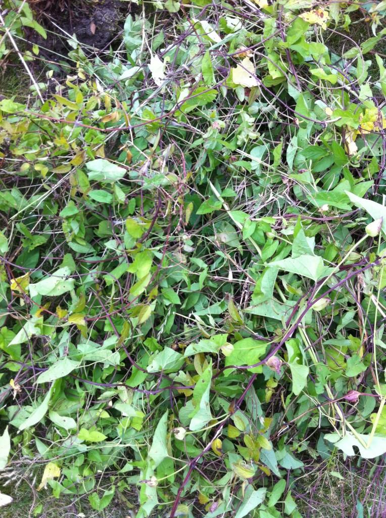 Bindweed, Garden, How Does Your Garden Grow
