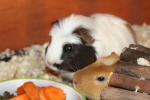 Guinea pigs, pets