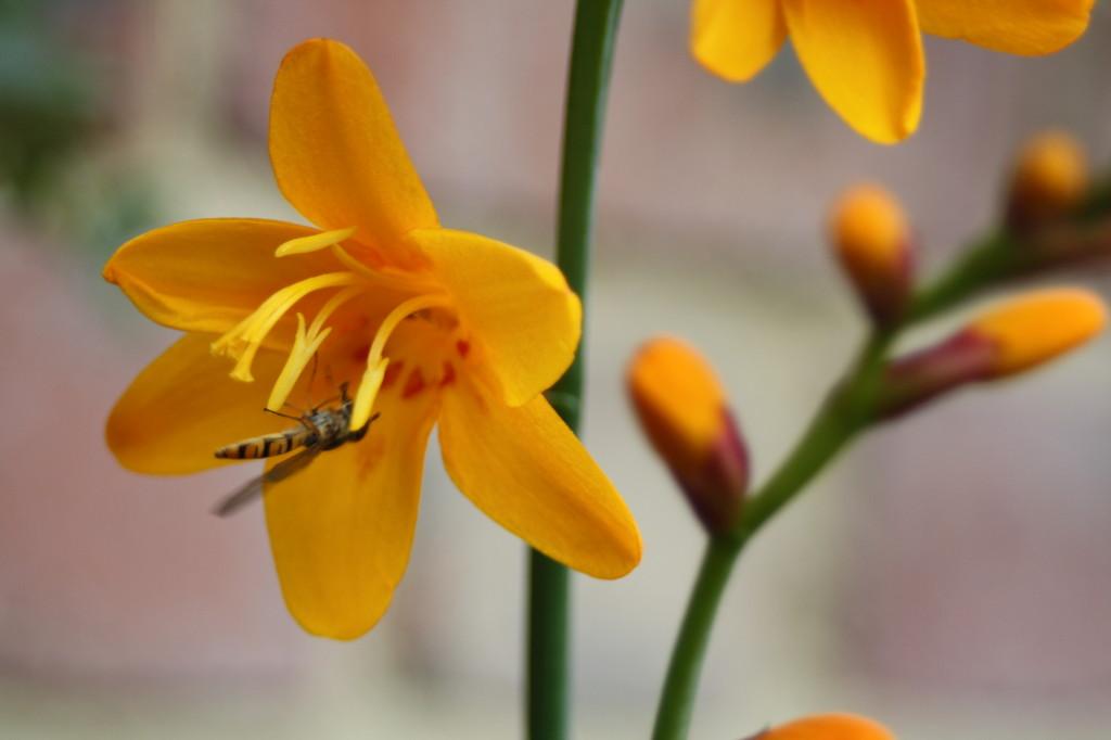 Flower, orange, bee, garden, 365
