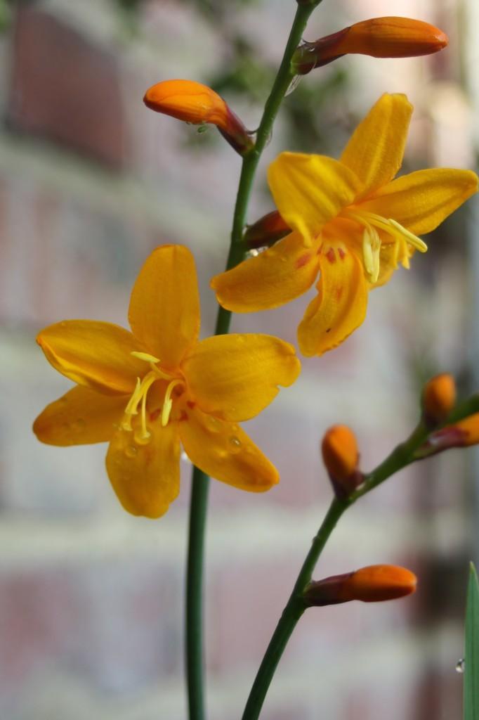 Silent Sunday, My Sunday Photo, flower, garden