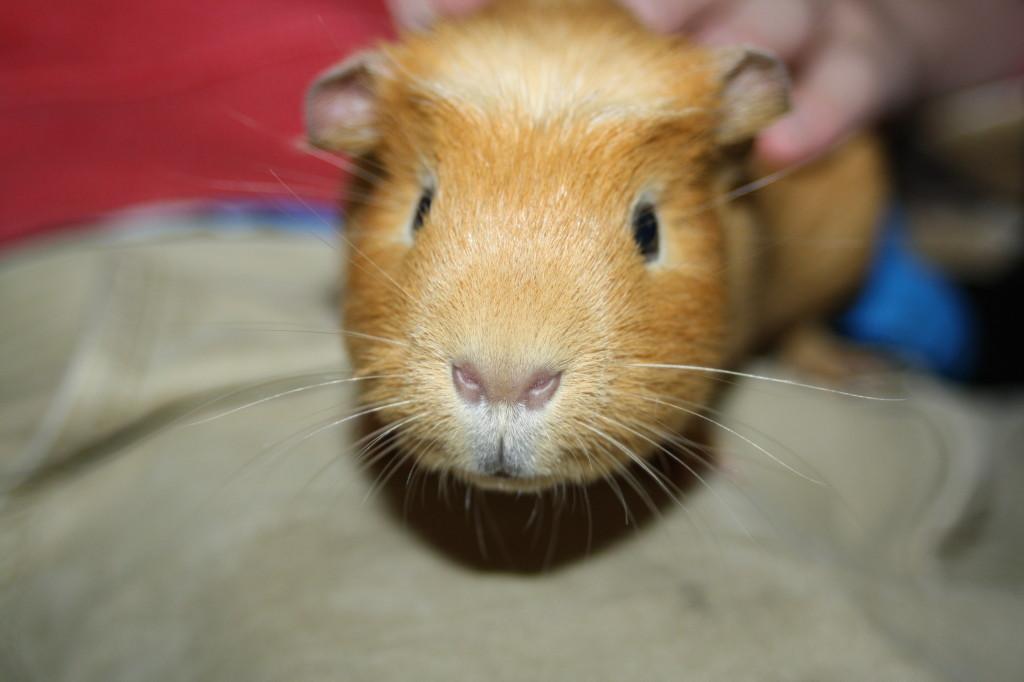 Guinea pig, Pet, 365