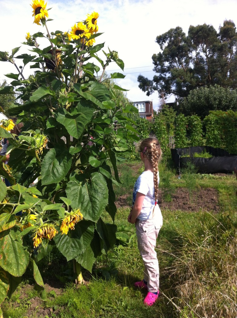 Sunflowers, allotment, daughter, 365