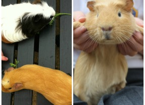 Life with guinea pigs