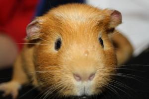 Guinea pig, garden, how does your garden grow