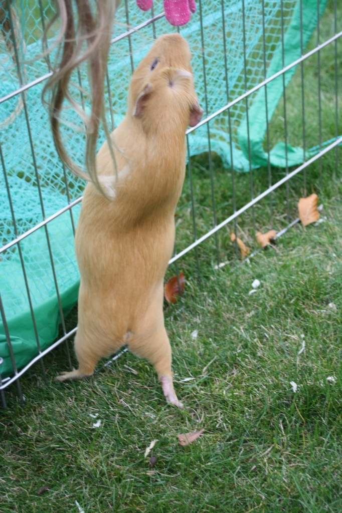 Guinea pig, 365