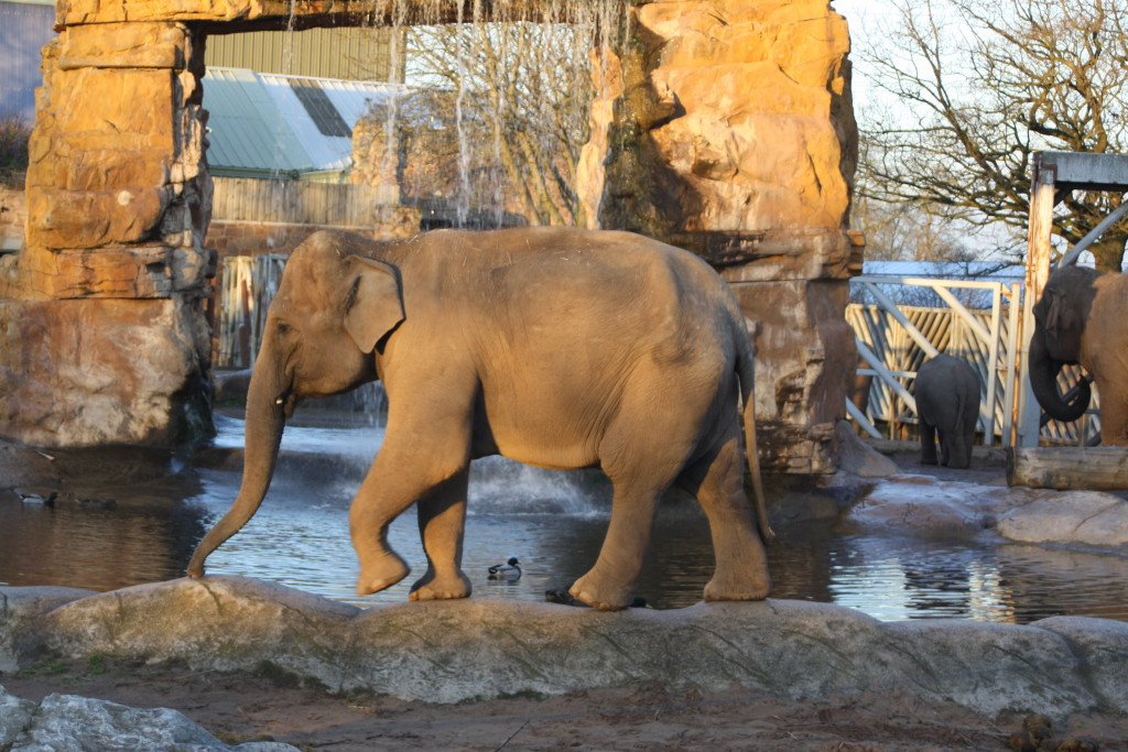 elephant, Chester zoo, 365