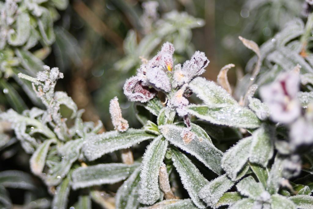 Frost, garden, winter, 365