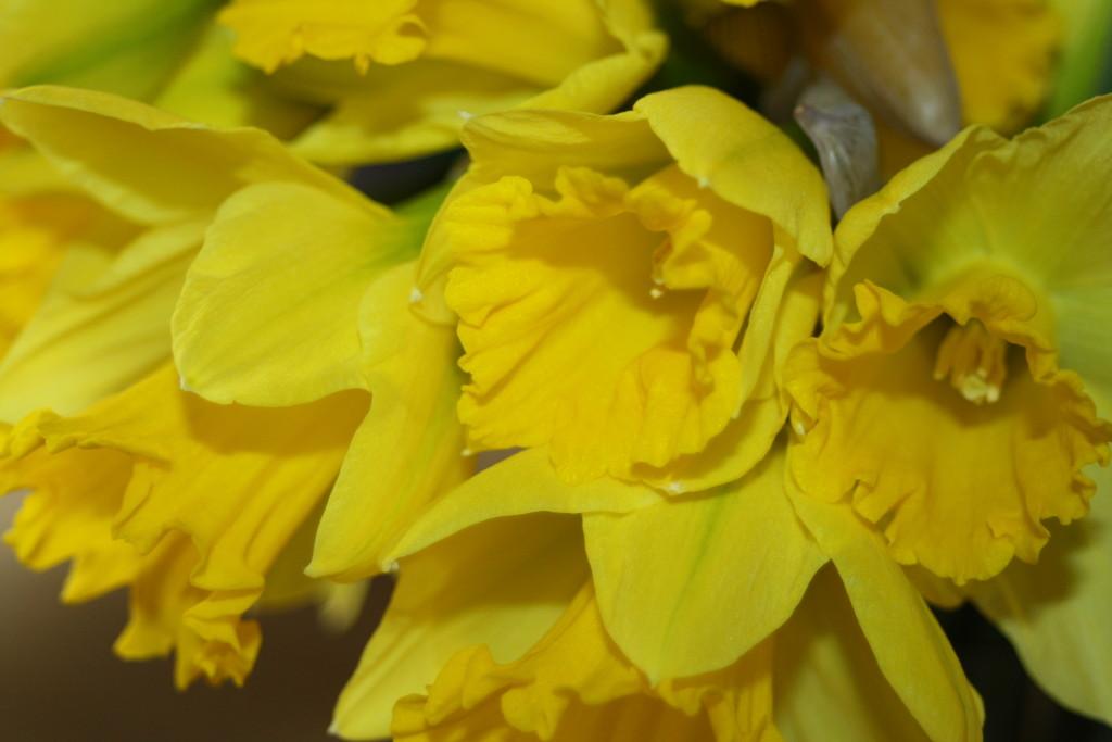 Daffodils, Flowers, 365