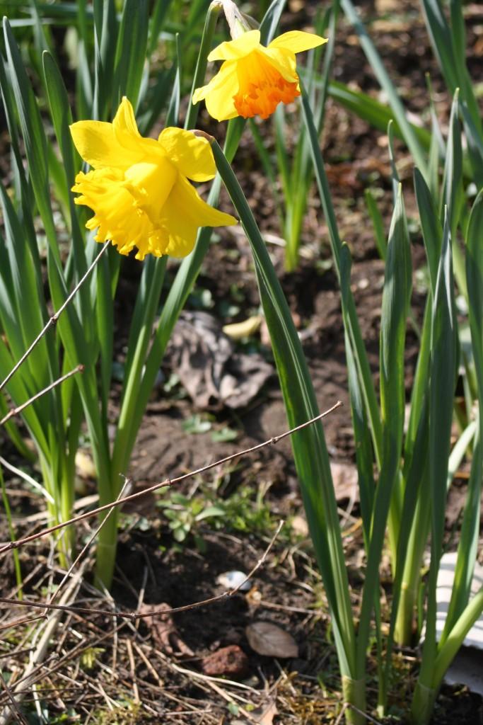 Daffodils, Garden, Spring, 365