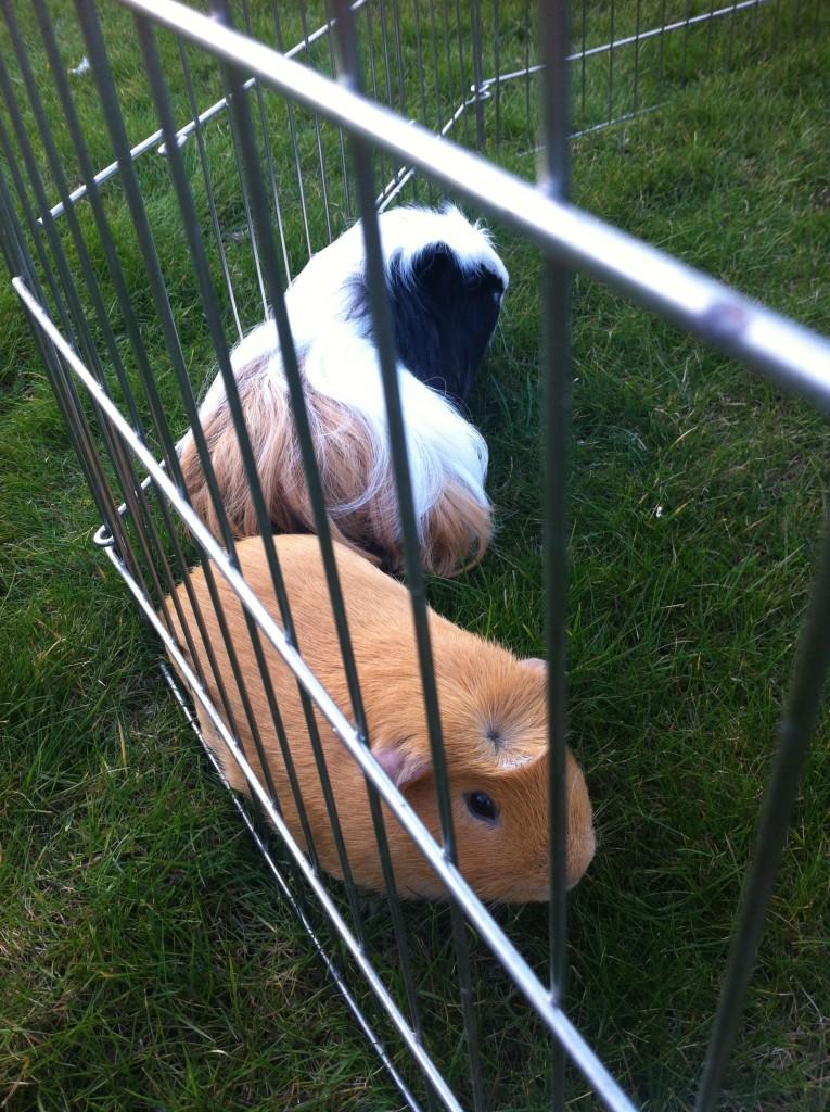 Guinea pigs, Pets, Spring, 365