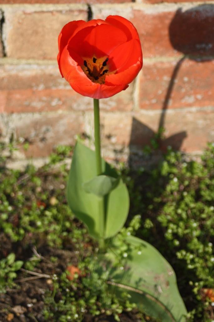 Tulip, Garden, Spring, 365