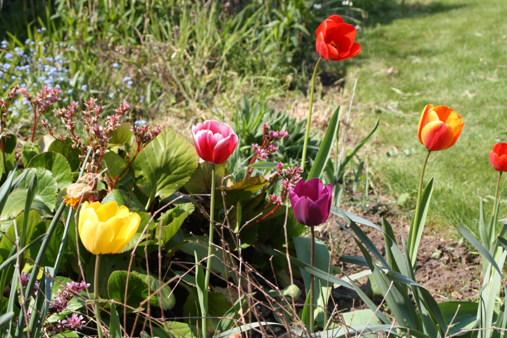 Tulips, Flowers, Garden, Spring, 365
