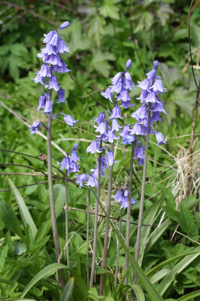 Bluebells, Garden, Spring, 365