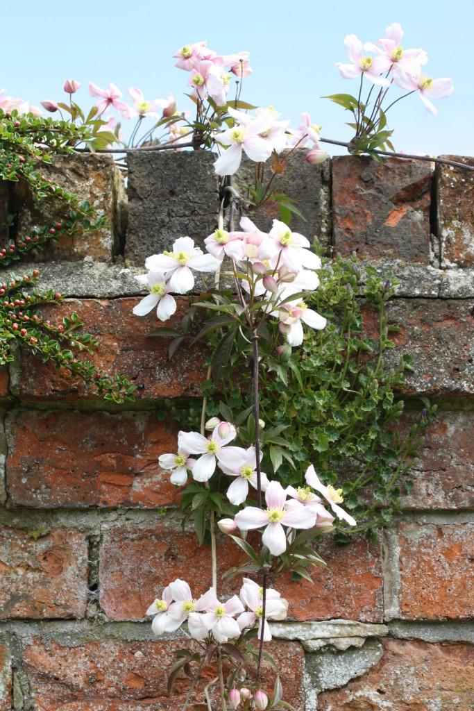 Clematis, Garden, Spring, Flowers, 365