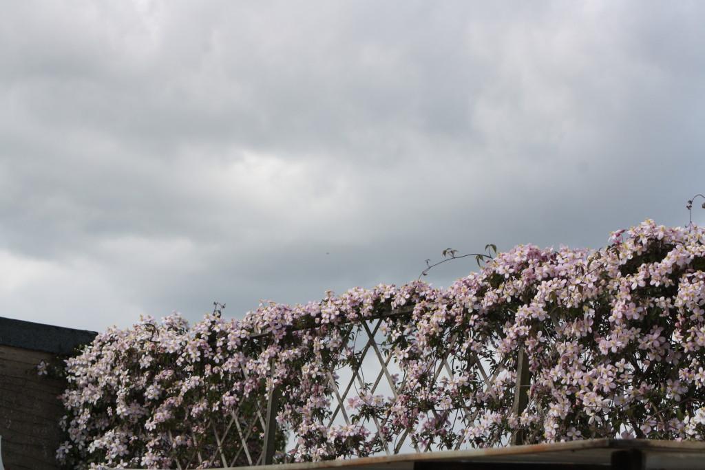 Clematis, Flowers, Garden, Spring, 365