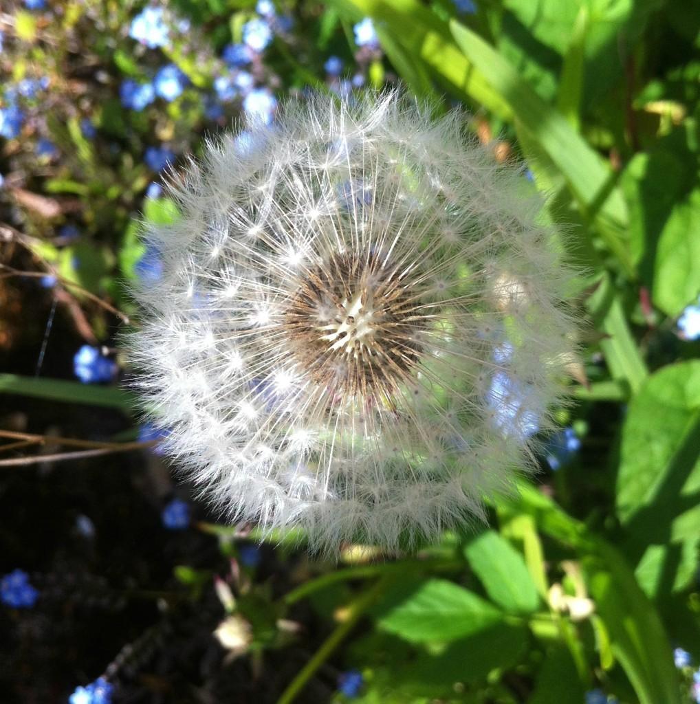 Dandelion, Garden, Spring, 365