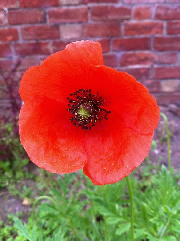 Poppy, Garden, Spring, Flower, 365