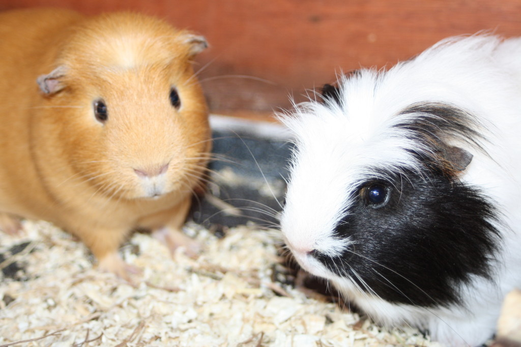Guinea pigs, Pets, Silent Sunday, My Sunday Photo