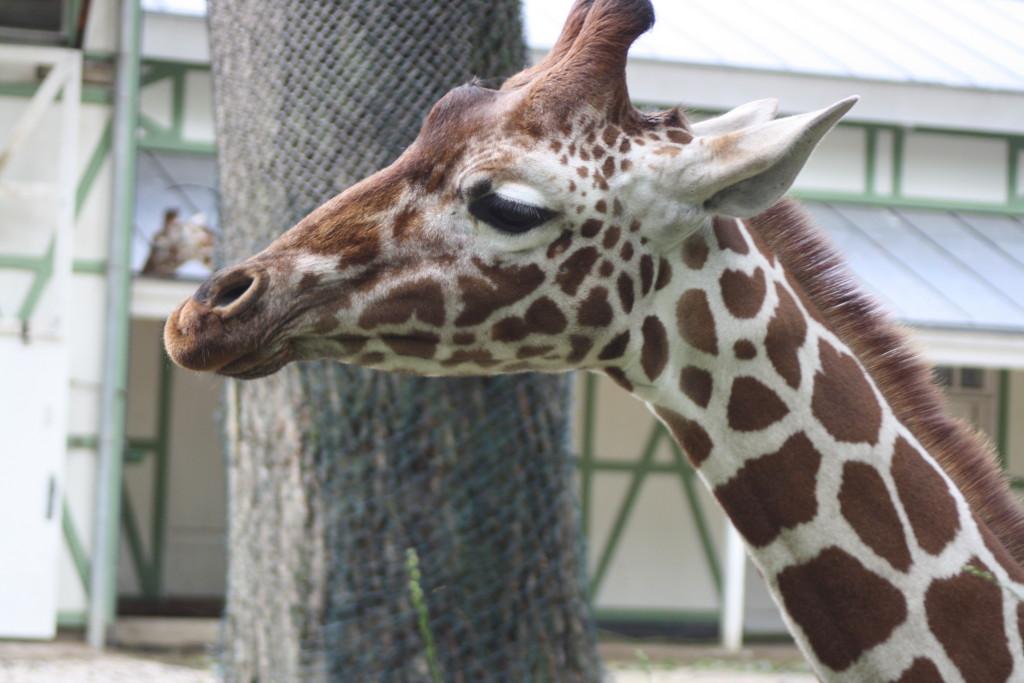 Giraffe, Amsterdam Zoo, Amsterdam, Holiday