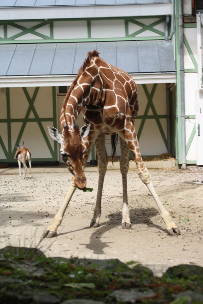 Giraffe, Zoo, Amsterdam Zoo, Things to do in Amsterdam