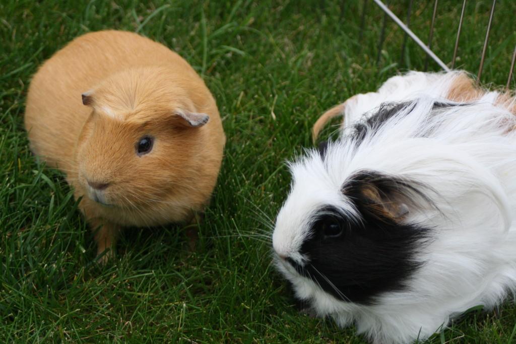 Guinea pigs, Pets, Silent Sunday, My Sunday Photo