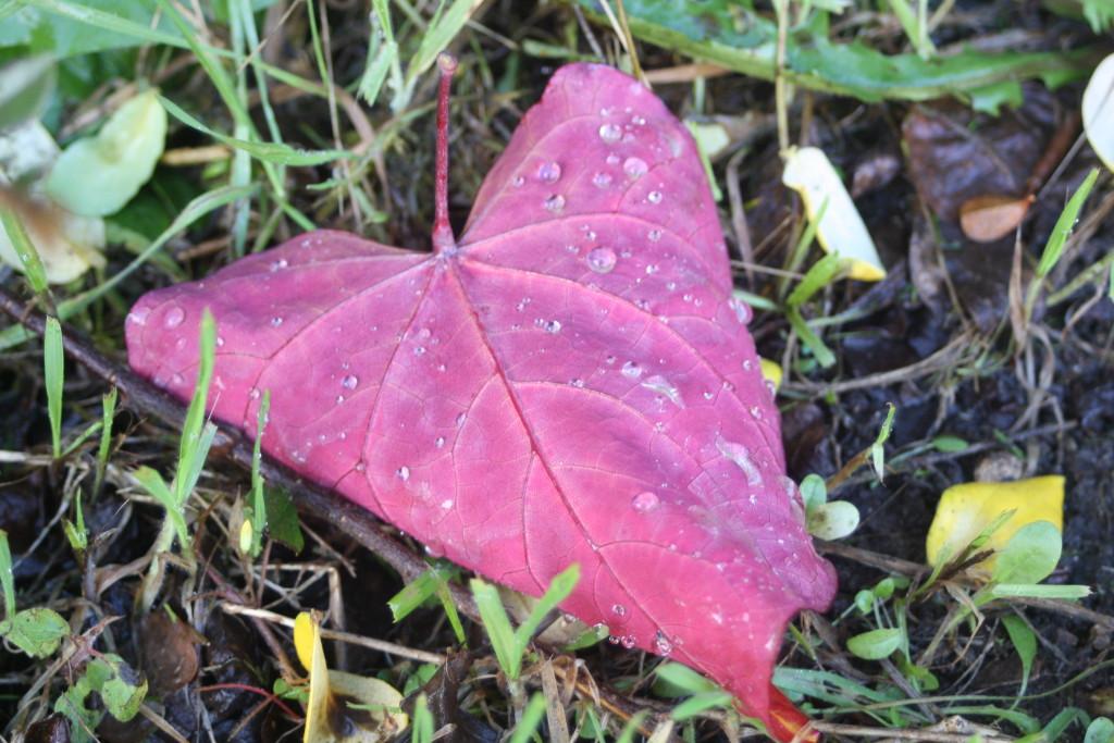 Leaf, autumn, garden, 365