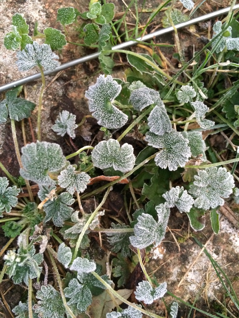 Leaves, Frost, 365