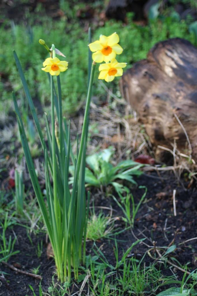 Daffodils, Garden, 366