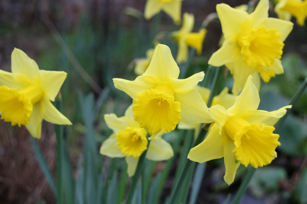 Daffodils, Spring, Garden, Joules