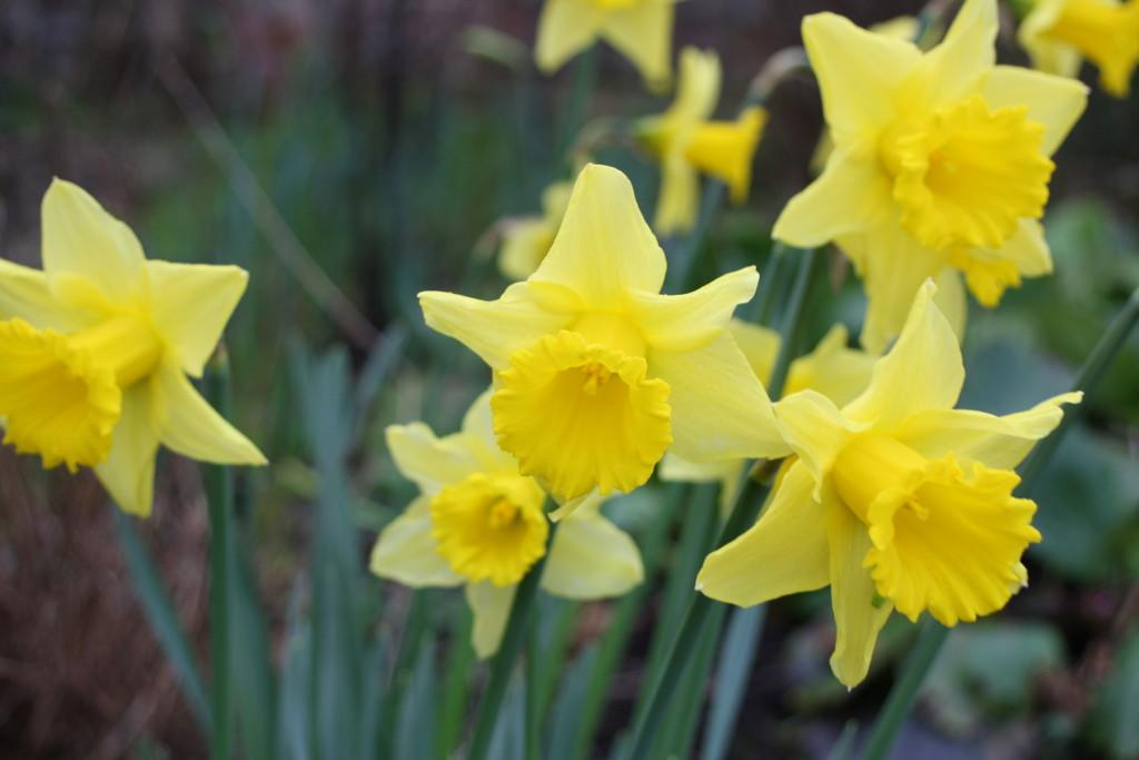 Silent Sunday, My Sunday Photo, Daffodils, Spring, Garden