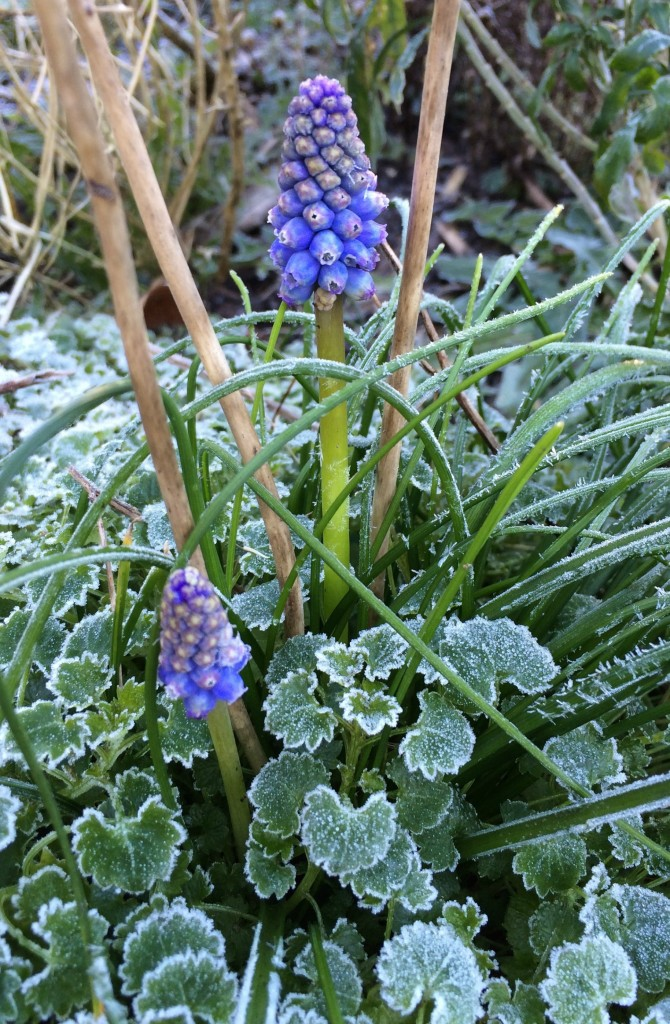 Silent Sunday, My Sunday Photo, Flower, Garden, Frost