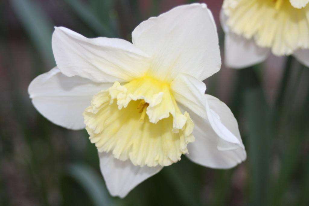 Daffodils, Garden, Spring, 365, 366
