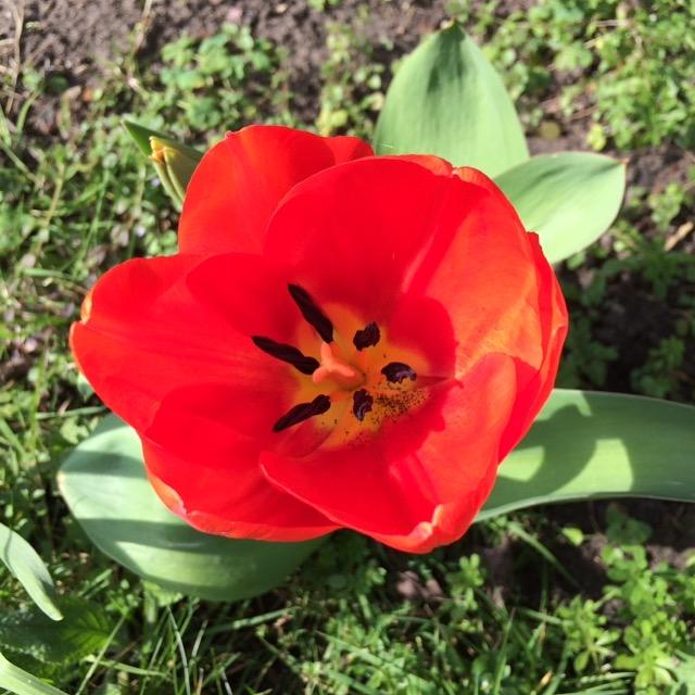 Tulip, Garden, Spring, 365, 366
