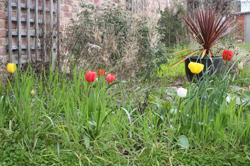 Silent Sunday, My Sunday Photo, Garden, Spring, Tulips