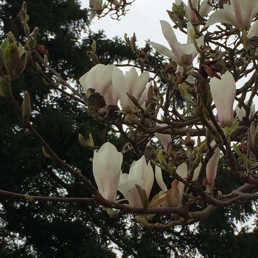 Magnolia, 365, 366, Garden, Spring
