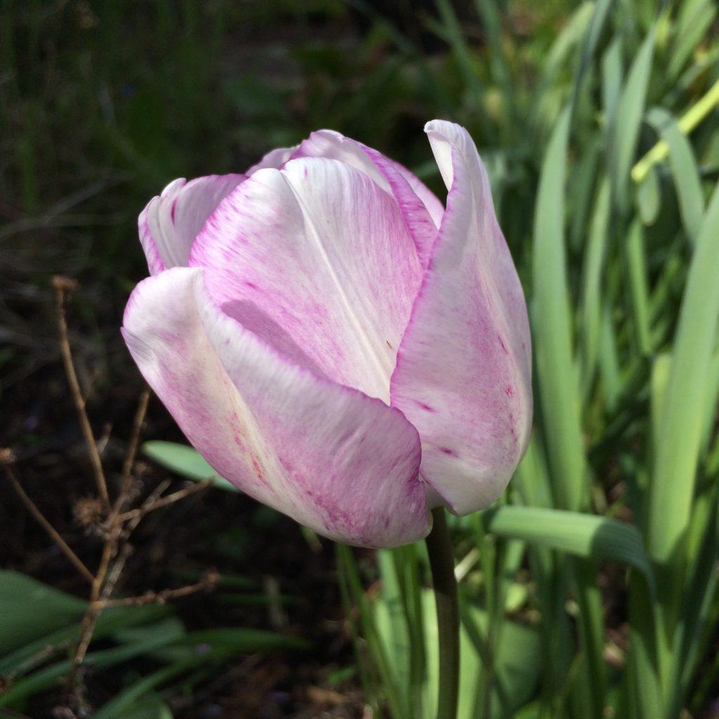Tulip, Garden, Flower, 365, 366