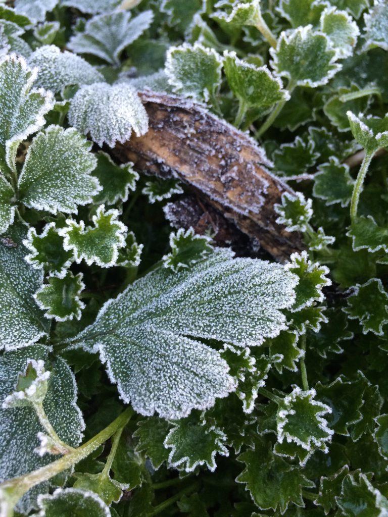 Garden, Frost, 365, 366