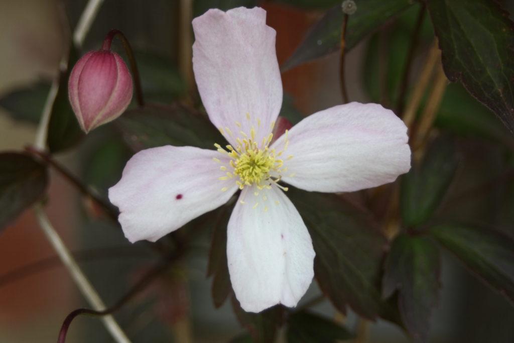 Clematis, Flower, Garden, 365, 366